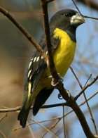 Spot-winged Grosbeak - Photo copyright Suppalak Klabdee