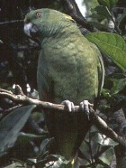 Yellow-naped Parrot - Photo copyright Manuel Grosselet